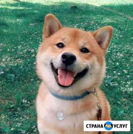 Кобель для вязки Сиба-ину Екатеринбург