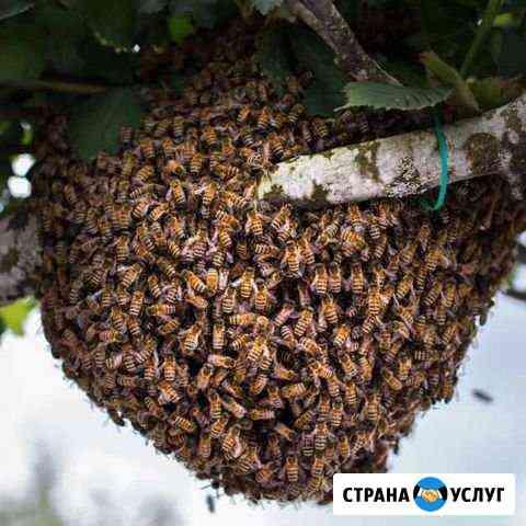 Сниму рой пчёл бесплатно Курск