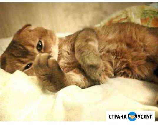 Вязка кот Шотландский Ростов-на-Дону