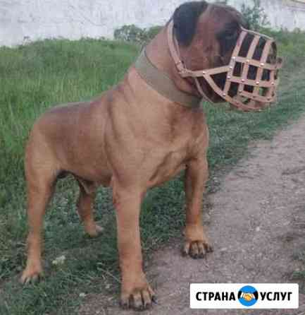 Бульмастиф вязка Симферополь