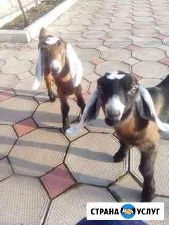 Кастрация и обезроживание козлят Таганрог