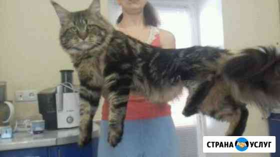 Вязка кот Мейн кун Энгельс