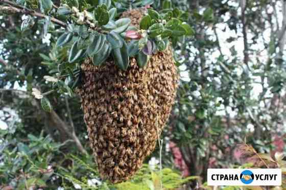 Сниму рой пчел Покрово-Пригородное