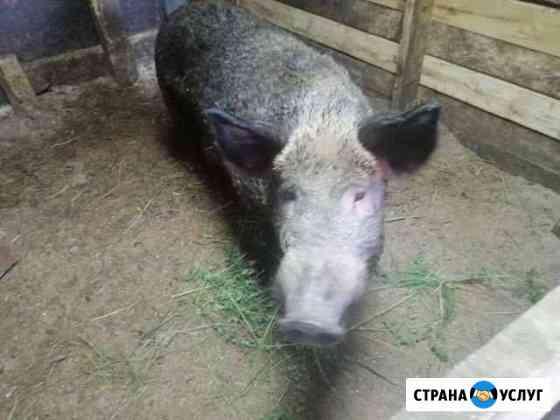 Кабан на вязку Гусь-Хрустальный