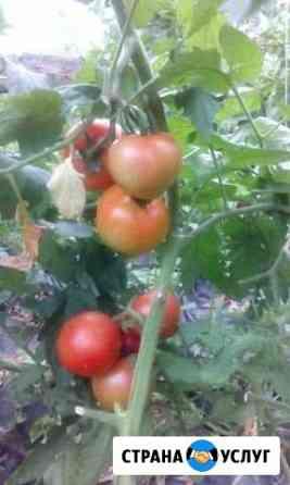 Домашние помидоры Красноярск