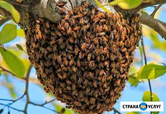 Поймаю рой пчел Стерлитамак