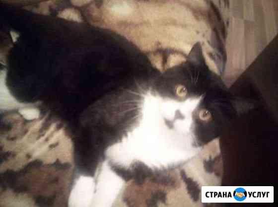 Кот ищет кошку для вязки. у нас британец Ижевск