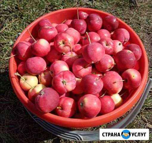 Наливные яблочки Бийск