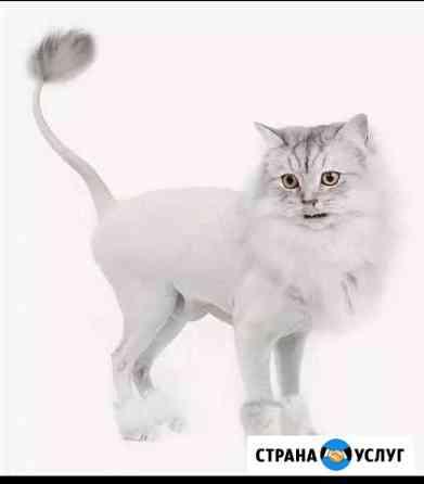 Гигиеническая стрижка кошек Пермь