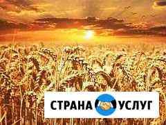 Купить зерно Щигры