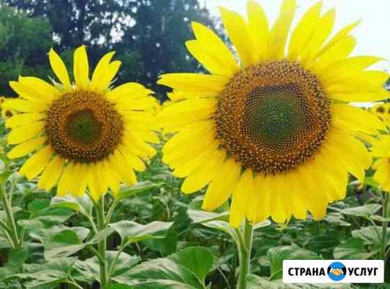 Переработка семян подсолнечника Федоровка
