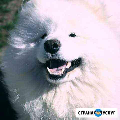 Кобель Самоедской собаки для вязки Лежнево