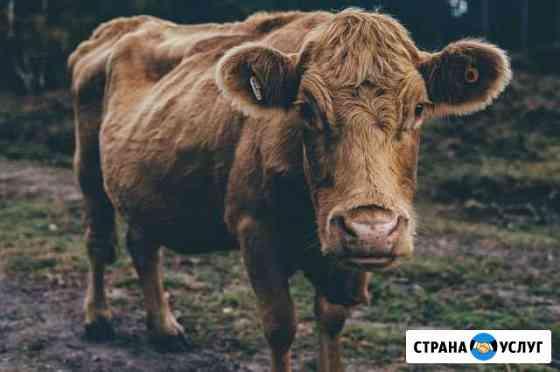 Убой крс с выездом Чапаевск
