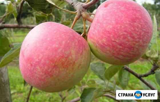 Яблоки Наливные Горно-Алтайск
