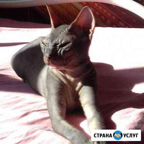 Донской сфинкс Нижний Тагил