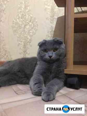 Вязка (шотландец вислоухий) Ачинск