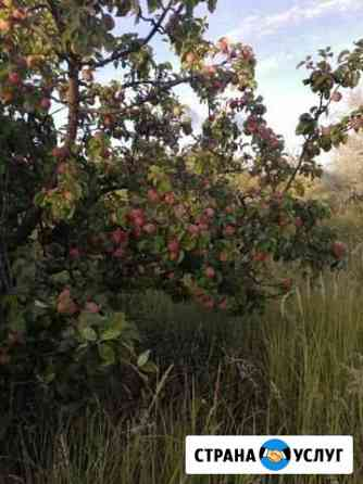 Яблоки под заказ Старотимошкино