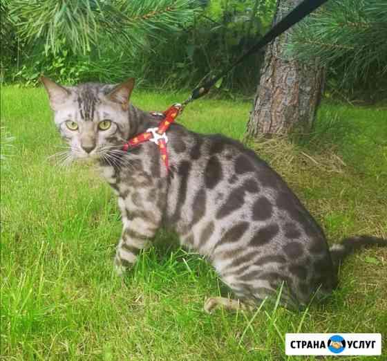 Предлагаю для вязки Бенгальского кота Раменское